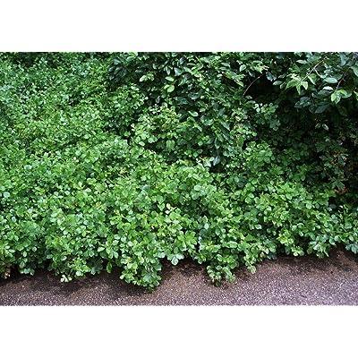 "AchmadAnam - 4"" Pot - GRO-Low Fragrant Sumac - Rhus - Fragrant - Red Berries, Plant, Bush, Tree : Garden & Outdoor"