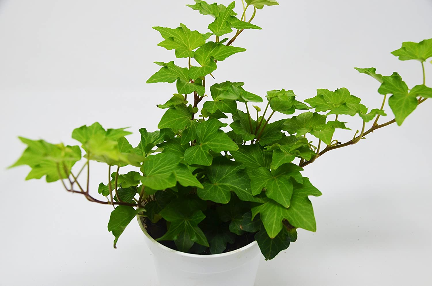 "Picture of Live Ivy green aka Hedera helix Plant Fit 4"" Pot"