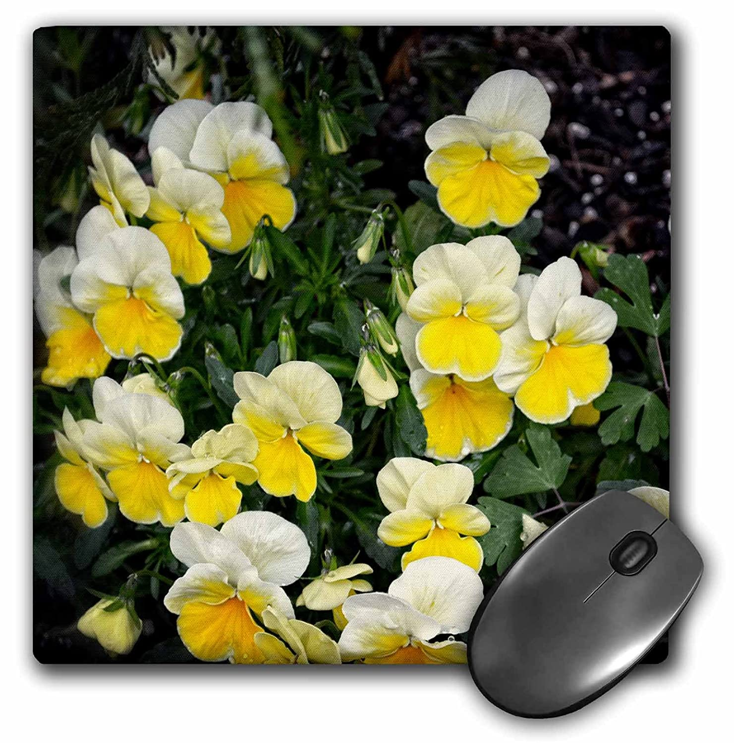 Amazon 3drose Whiteoaks Photography And Artwork Pansy Flowers