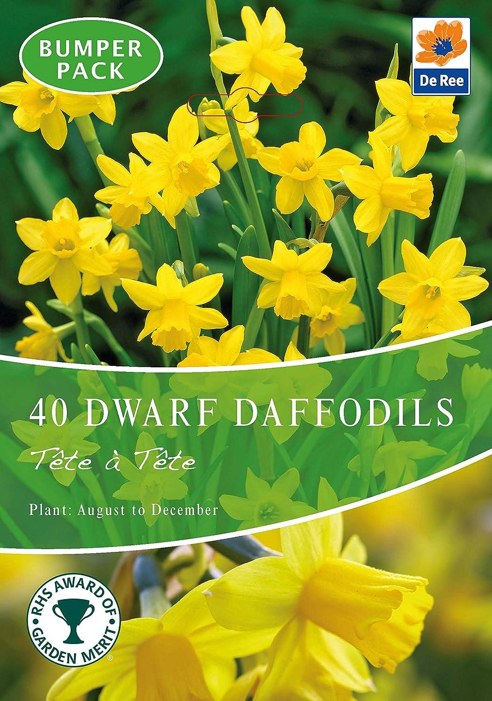 JBA Dwarf Daffodil Bulbs Tete a Tete (40 Bulbs) Autumn Planting/Spring Flowering Bulbs