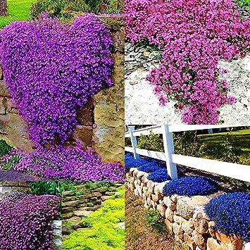 Begorey 100 Stück Steinkraut Blumen Samen Klettenpflanzen Seltenen