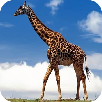 Amazon Giraffe Wallpapers Appstore For Android