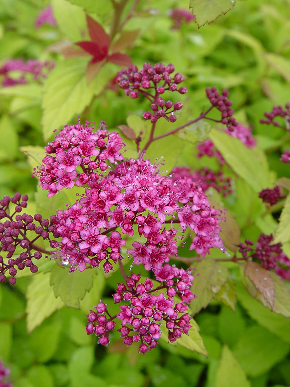Amazon Little Princess Spirea Pink Flowering Plant In 3