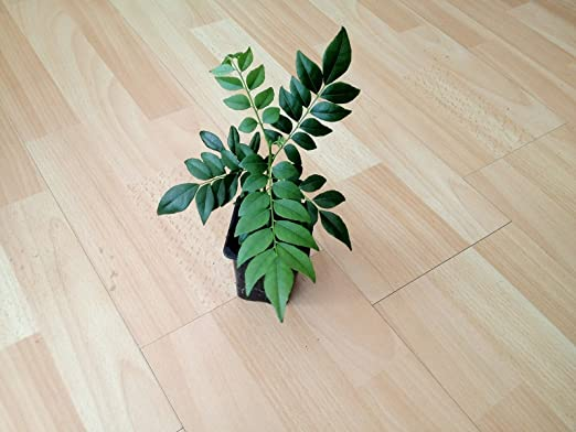 Curry Tree Bergera Koenigii L Plant