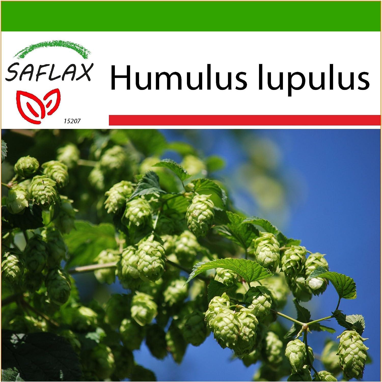 Japanische Hopfensamen Humulus japonicus 20 samen