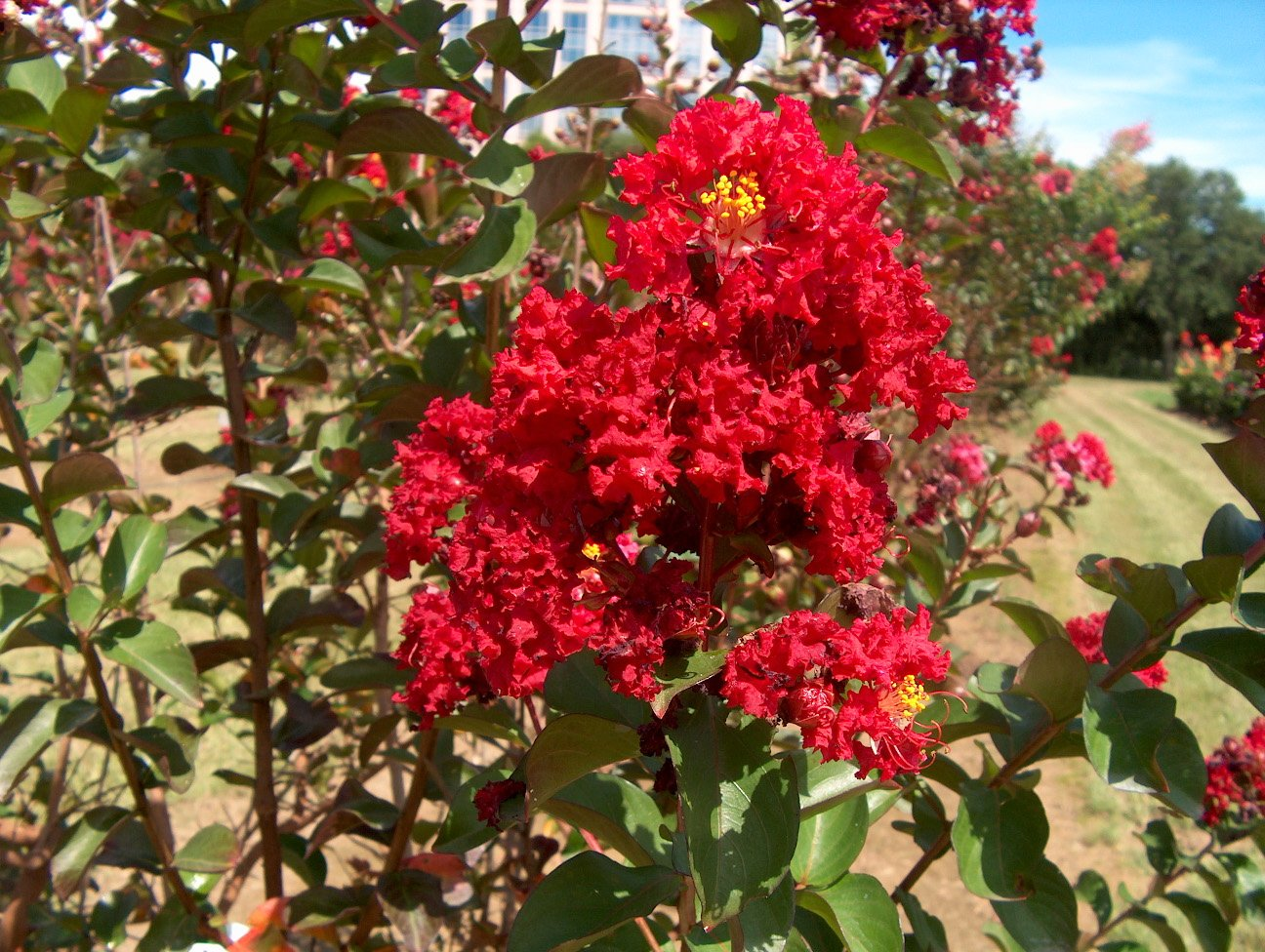 New Life Nursery & Garden- - Red Rocket Crape Myrtle Tree'', Trade Gallon Pot
