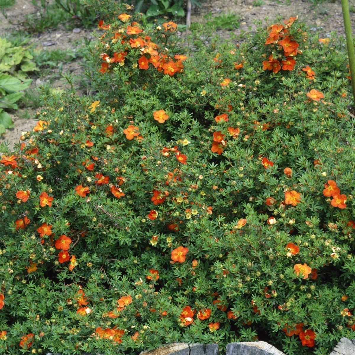Fünffingerstrauch Red Ace rot blühend 6 Sträucher Amazon Garten
