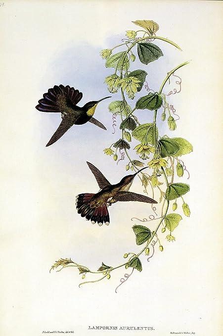 "DOMINGO MANGO/"" GOULD COLOR Art Lithograph 1990 Vintage HUMMINGBIRD #79 /""ST"