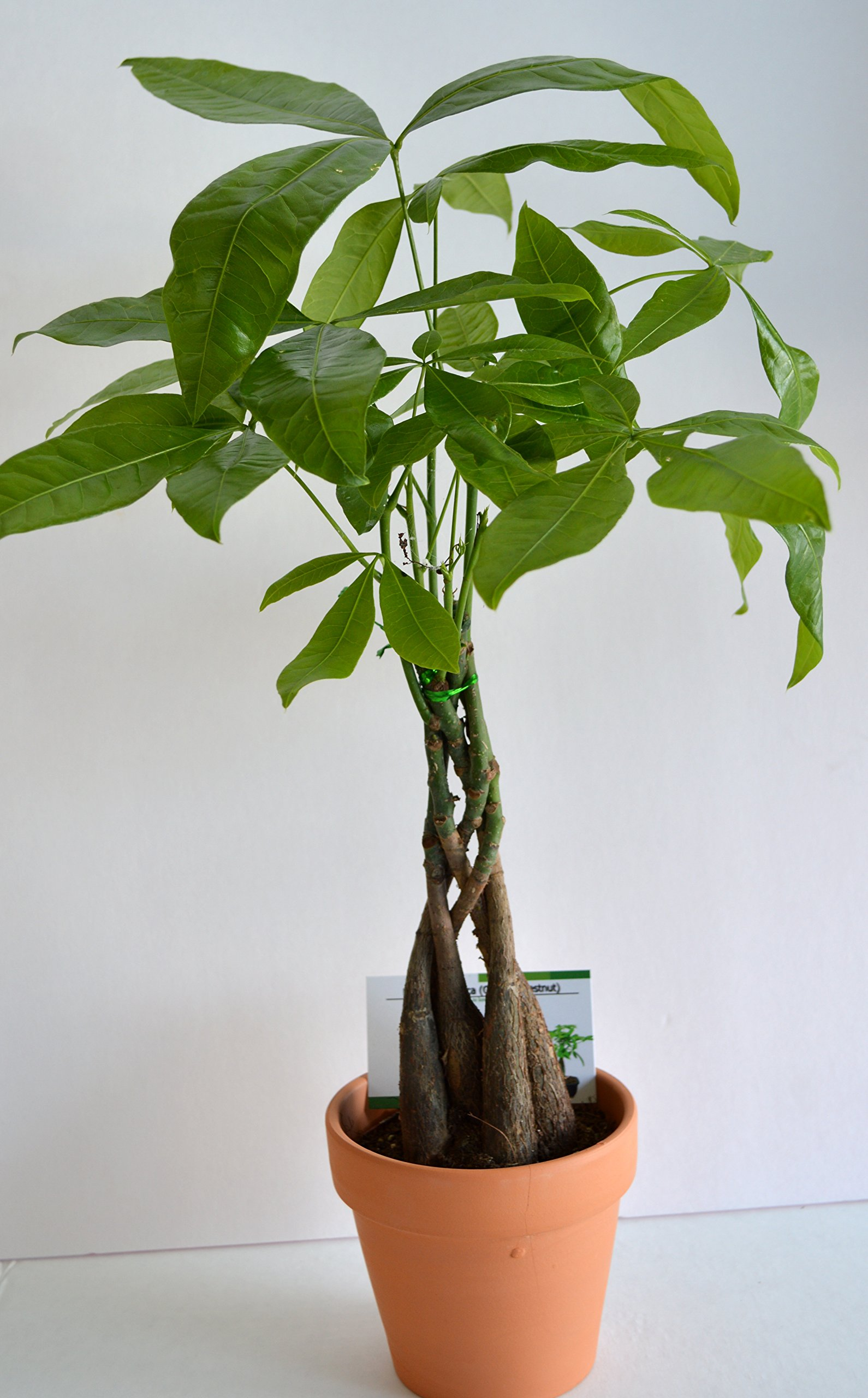 JM Bamboo 5 Money Tree Plants Braided into 1 Tree -Pachira-4'' clay pot for better growth between 10-12 inches tall