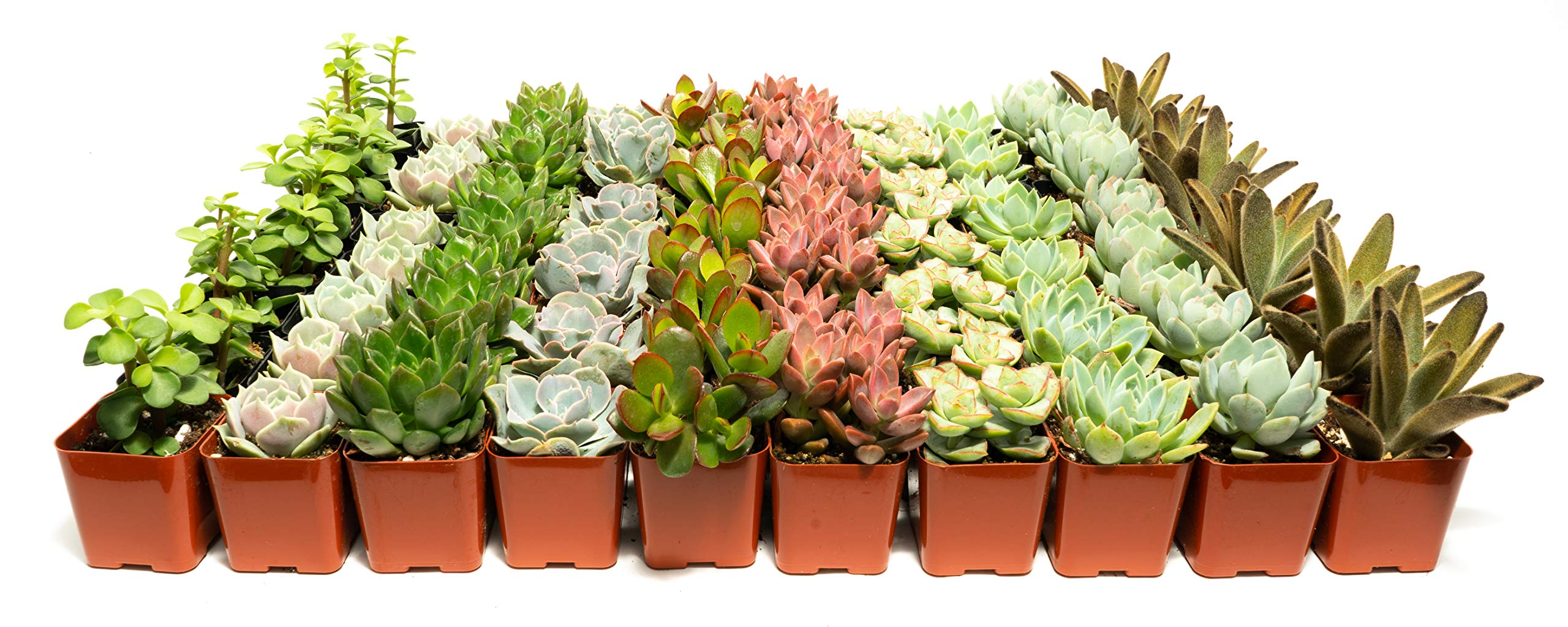 Succulent Assorted Pack- Perfect for Weddings, Party Favors, Home Gardens, and Social Events by Jiimz (80 Pack) by jiimz (Image #1)