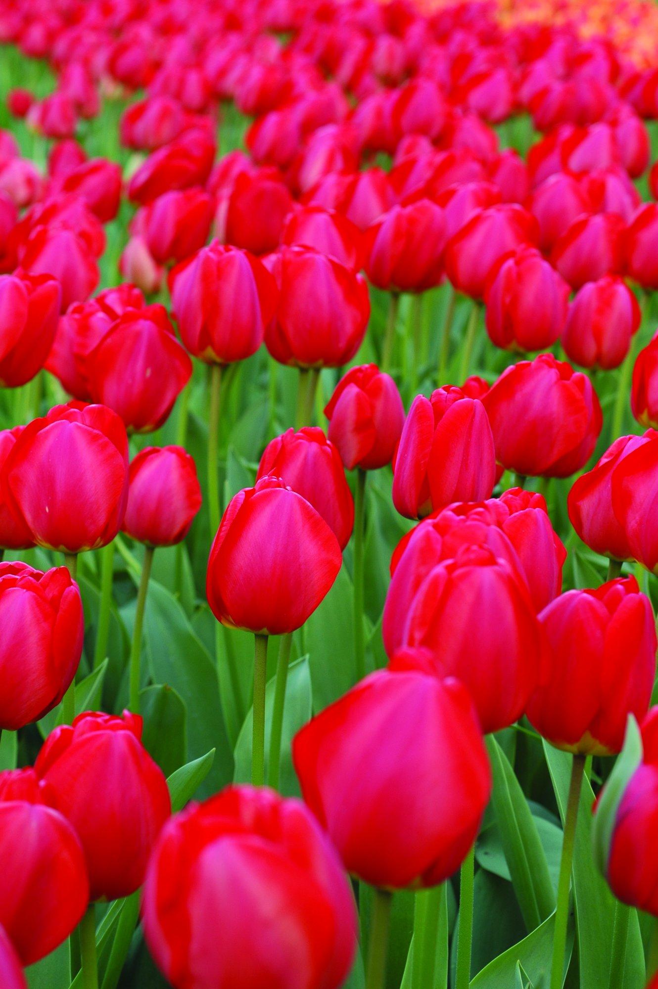 Burpee's Oxford Tulip - 10 Flower Bulbs   Red   12 - 14cm Diameter