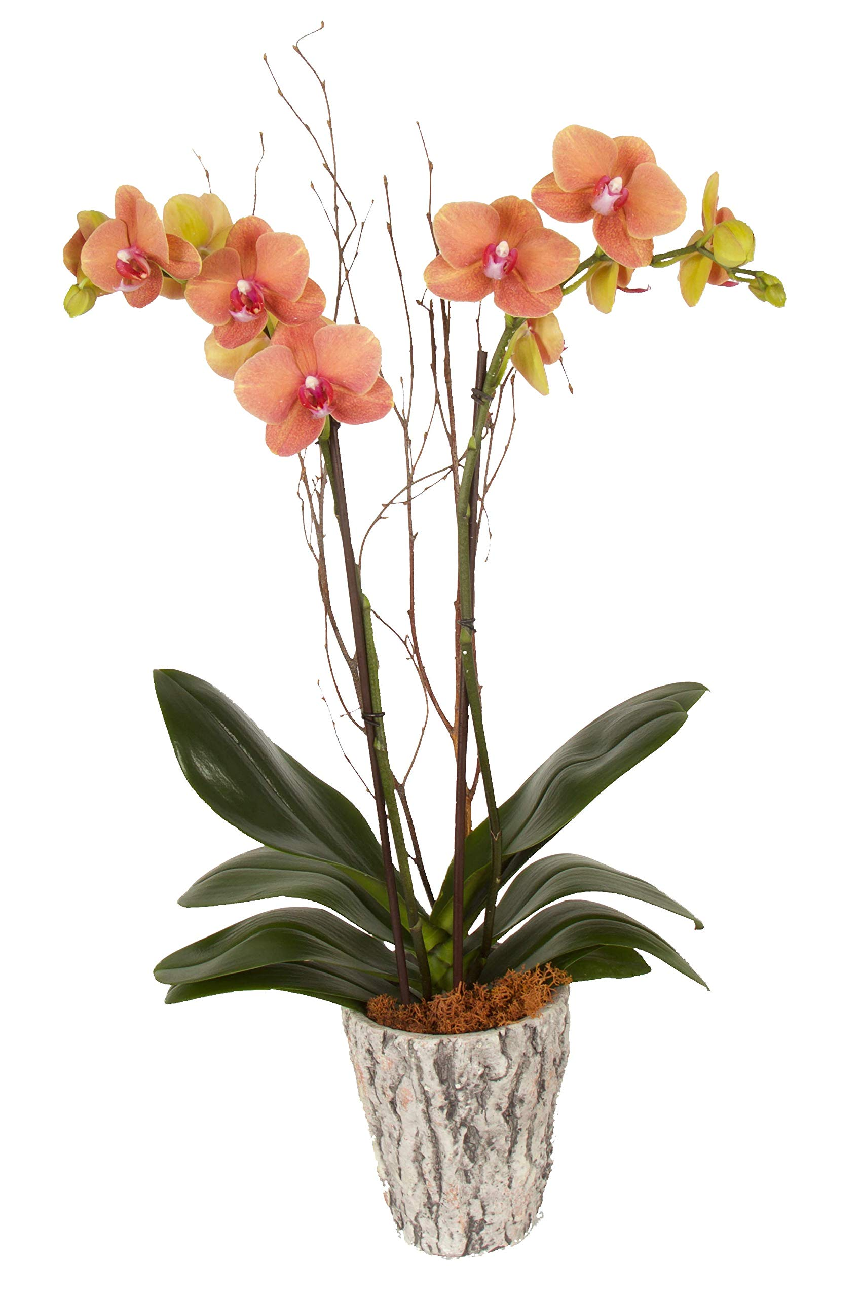 Color Orchids AMZ3101FBO Live Fall Double Stem, 20'' x 24'' Tall, Orange Blooms Orchid Plant in Ceramic Pot,