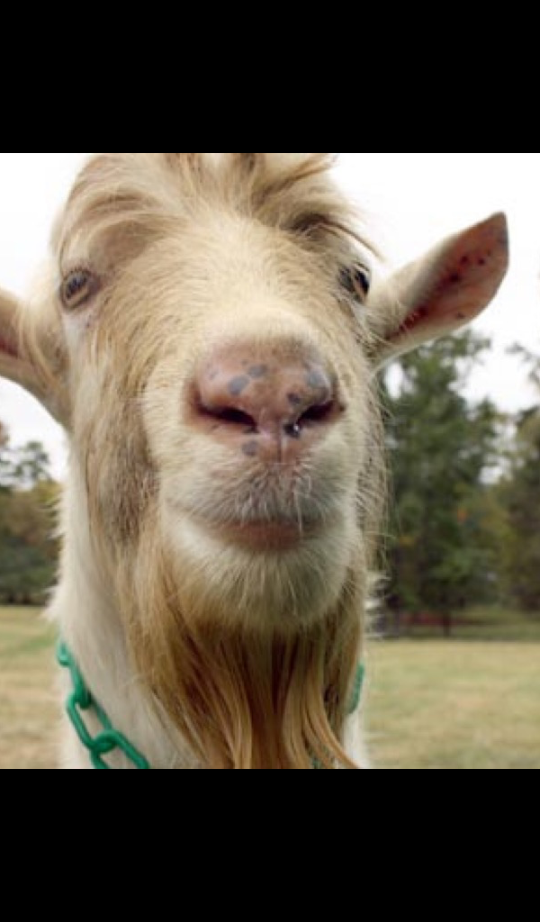 Amazon Com Funny Goat Wallpaper Hd Wallpapers Of Funny Goats Appstore For Android