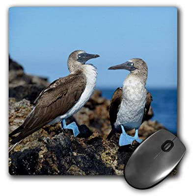 3dRose Ecuador, Galapagos Islands, Isabela Island, Blue-Footed Booby