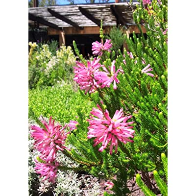 Erica Verticillata ~ Pink Marsh Heath ~ Amazing Tropical Shrub ~ 5 Tiny Rare Seeds ~ : Garden & Outdoor