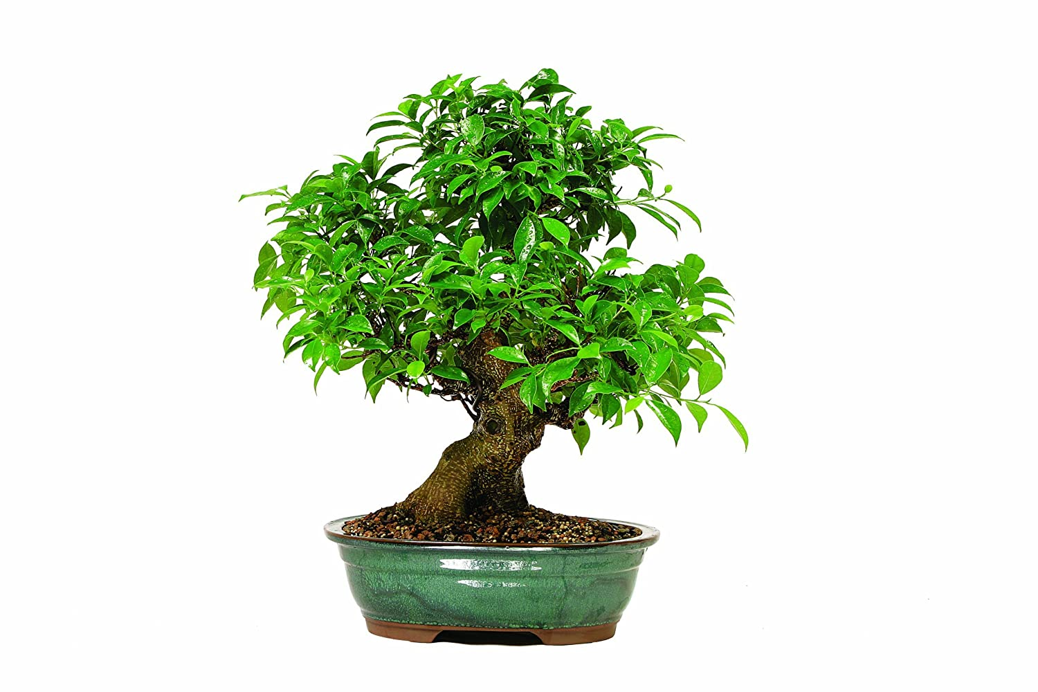 ficus bonsai tree a tropical indoor plant with green leaves. Black Bedroom Furniture Sets. Home Design Ideas