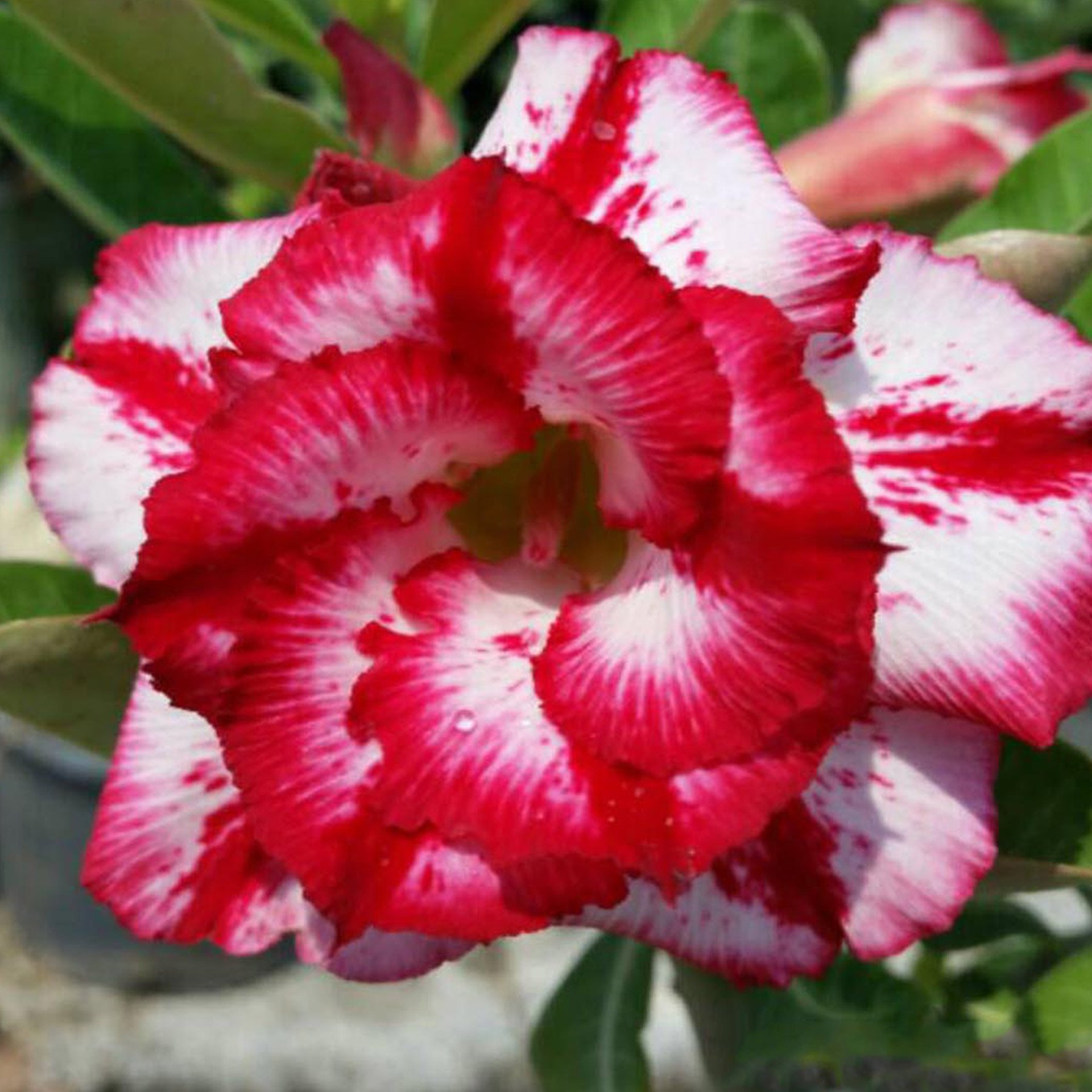 Rare Adenium Obesum, Double Flower, Grafted Mature Plant, Easy Care, Desert Rose Plant, New Hybrids, Not Just Seeds (01 Big Harry)