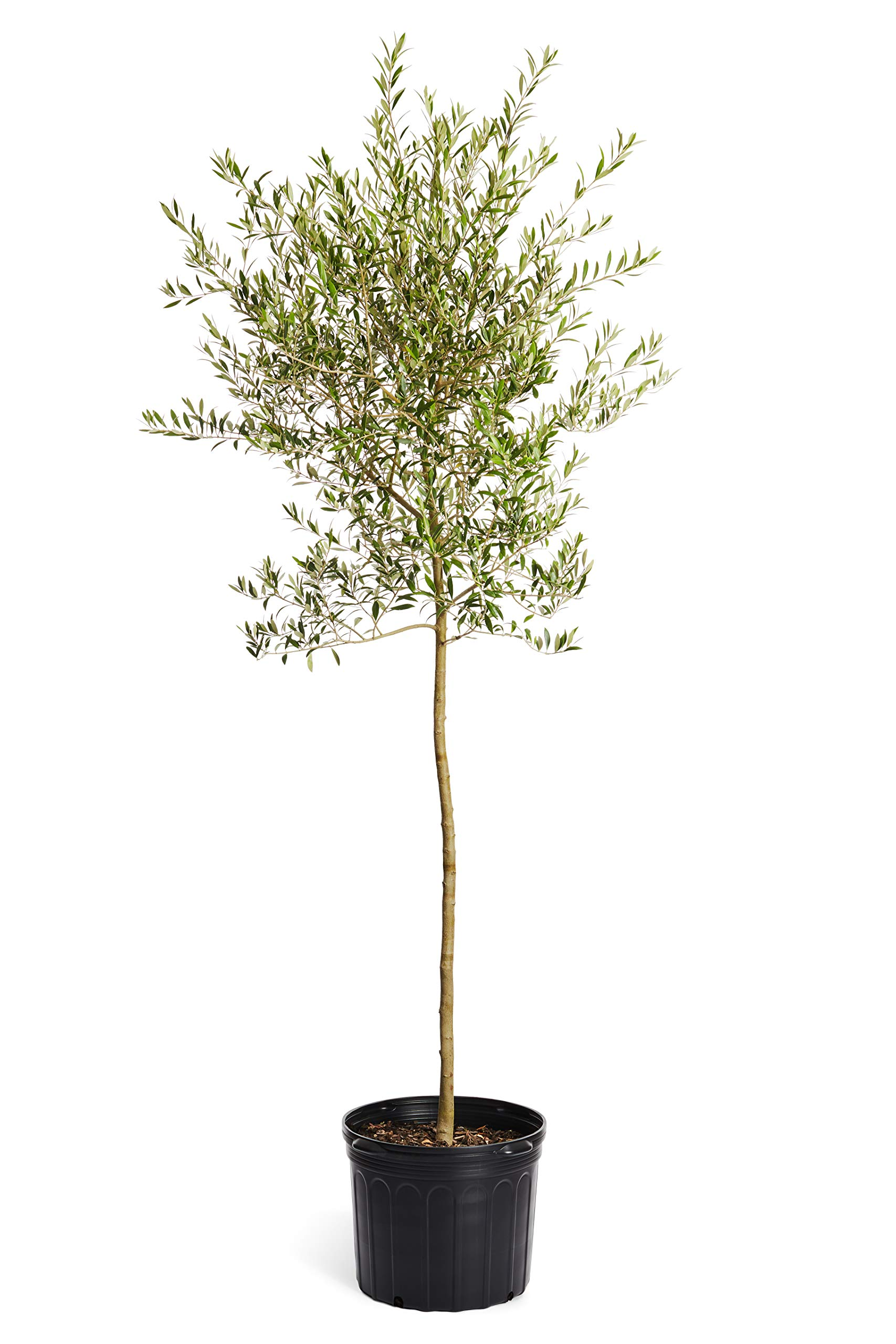 Arbequina Olive Tree 5-6 feet Tall - Get Olives 1st Year with Large Olive Trees - Indoor/Patio Live Olive Trees