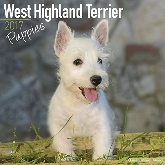 West Highland Terrier Puppies Calendar - Dog Breed Calendars - 2017