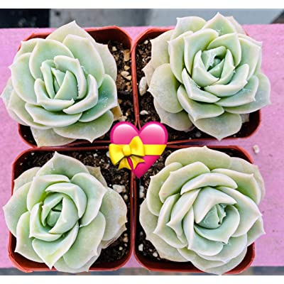 """Succulent Plants, 4PCS Echeveria 'Lovely Rose' Fully Rooted in 2"""" Planter, Rose Succulents Flower, The Mothers Day Gift : Garden & Outdoor"""