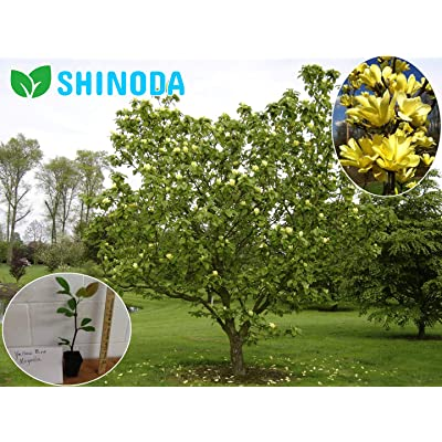 "Yellow Bird Magnolia Tree, 6-12"" Live Plant Established Rooted in a 3"" Pot by Dr.Shinoda : Garden & Outdoor"