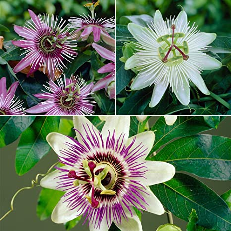 Passion Flower Plant Collection Pack Of 3 Varieties In 9cm Pots