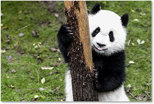 Giant Panda VI