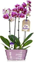 Hallmark Flowers Double Spike Pink Orchid Duo in 10-Inch Lavender Ceramic Container