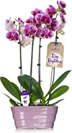 Hallmark Flowers Double Spike Pink Speckled Orchid Duo in 10-Inch Lavender Ceramic Container