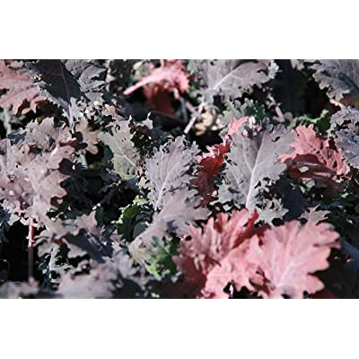 Red Russian Kale Seeds - Many Sizes - Microgreens Or Garden - C330-15K Seeds, 2 Oz : Garden & Outdoor
