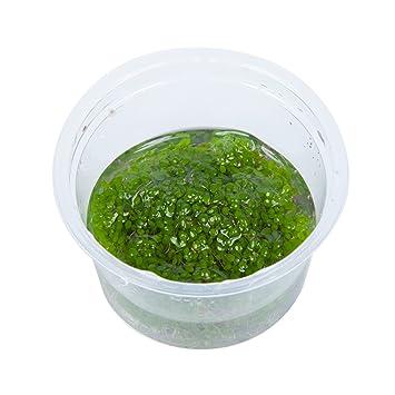 Tropica Elatine Hydropiper 1 – 2-grow Tissue Culture in vitro planta para Acuario Camarón