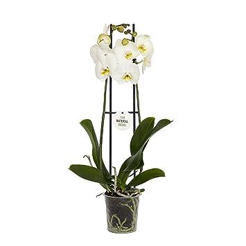Dominik Blumen und Pflanzen, Orchidee (Phalaenopsis) weiß blühend, 2 ...