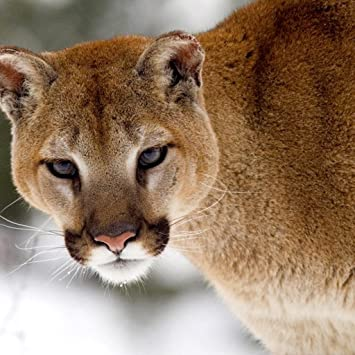 Amazon Com Mountain Lion Wallpaper Hd Wallpapers Of Mountain