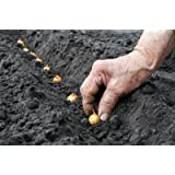 Yellow Onion Sets | 40 Onion Bulbs Onion .For Planting