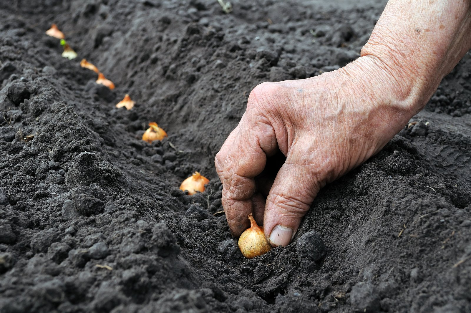 Yellow Onion Sets | 40 Onion Bulbs Onion .For Planting