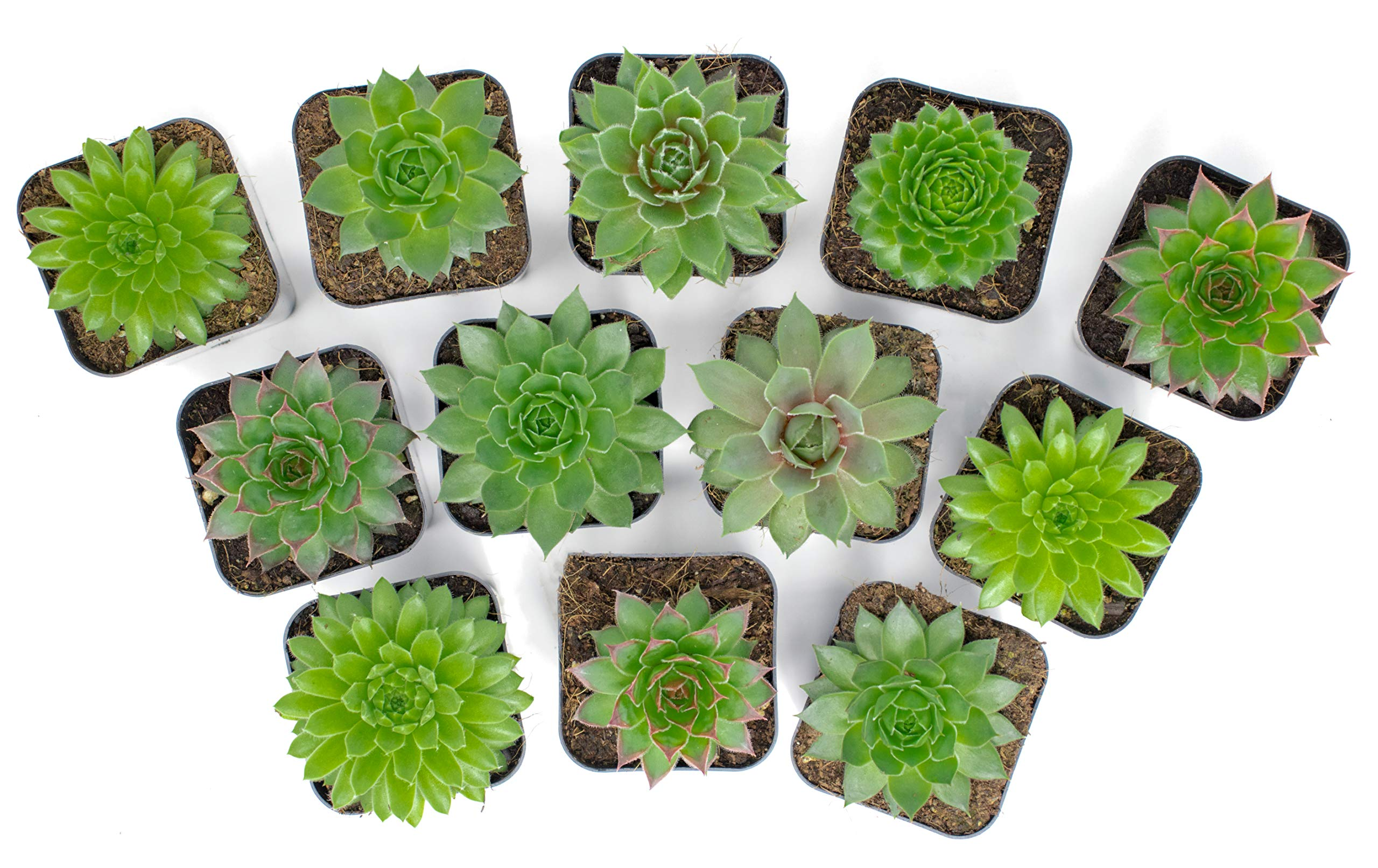 Succulent Plants | 20 Sempervivum Succulents | Rooted in Planter Pots with Soil | Real Live Indoor Plants | Gifts or Room Decor by Plants for Pets by Plants for Pets (Image #8)