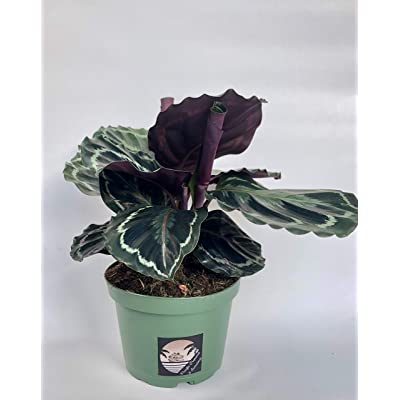 Pacific Tropicals &Succulents -Calathea Medallion -Live Indoor Plant-Ships in 6 inch Grow Pot-Homegrown : Garden & Outdoor