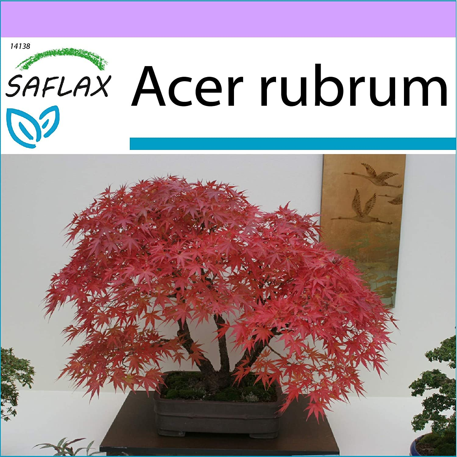 Saflax Bonsai Red Maple 20 Seeds Acer Rubrum Amazon Co Uk Garden Outdoors