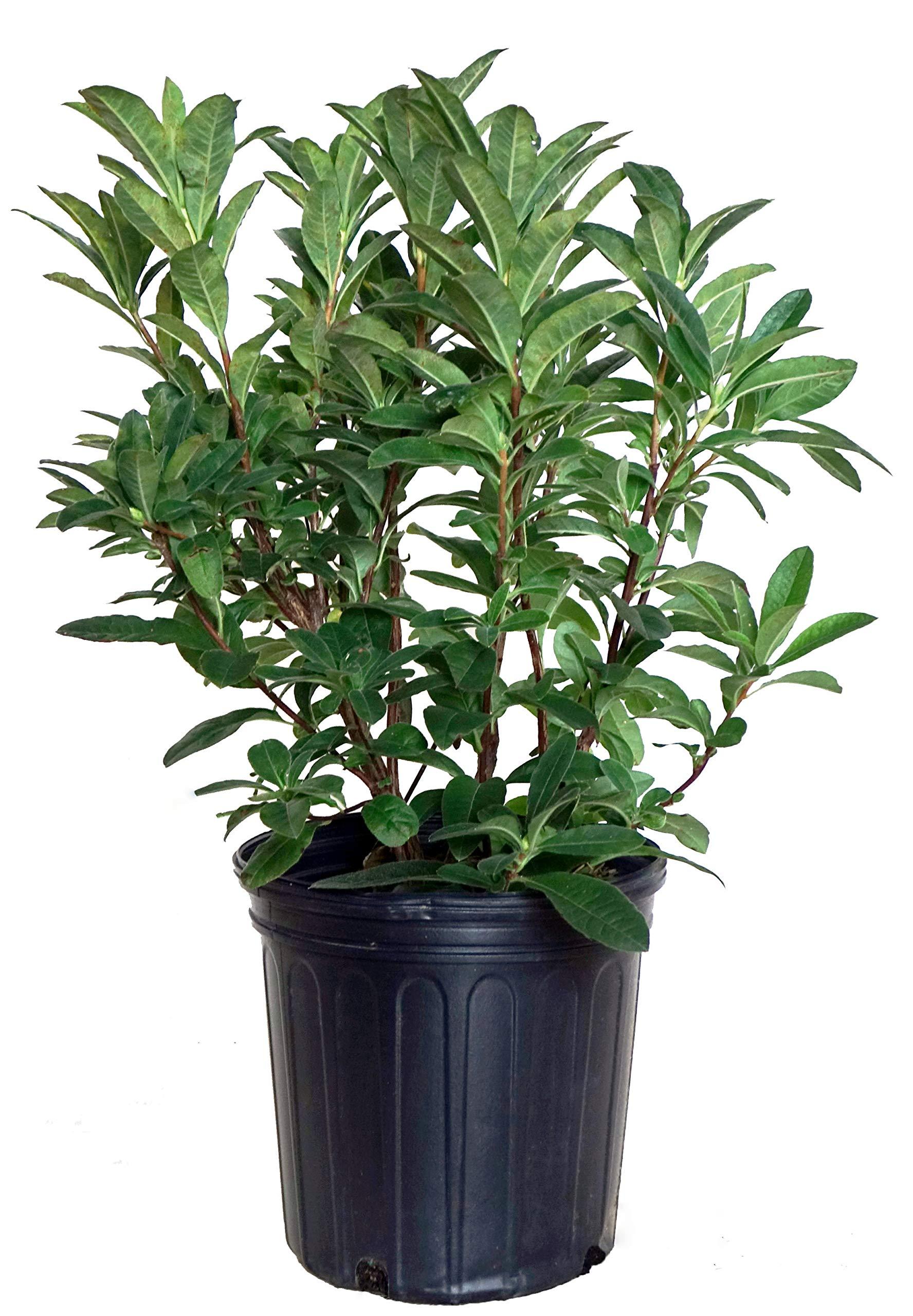 Azalea 'Mandarin Lights' (Exbury hybrid) Shrub, orange flowers, #2 - Size Container