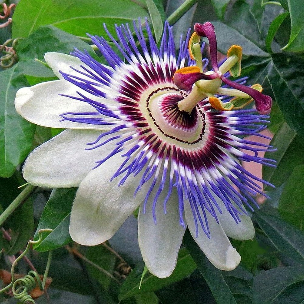 Amazon Beckys Bluewhite Passion Flower Passiflora Potted