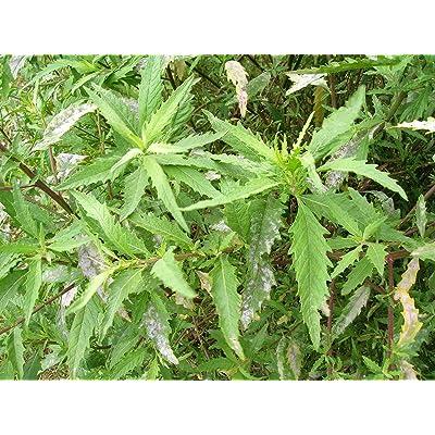 300 Epazote Chenopodium Ambrosoides Herb Flower Seeds Herb Seeds LUC-RR : Garden & Outdoor