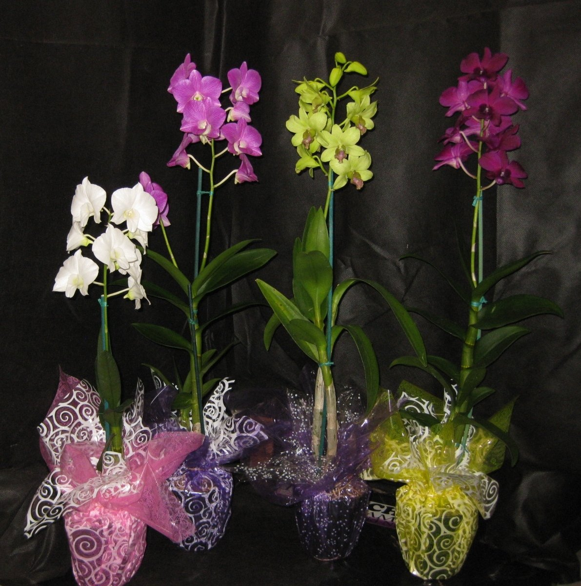 4 Blooming/Budded FLOWERING Dendrobium Orchid Plant-A GIFT OF ALOHA! BEAUTIFUL & NICE- Gift for any Occasion- by Kawamoto Orchid Nursery