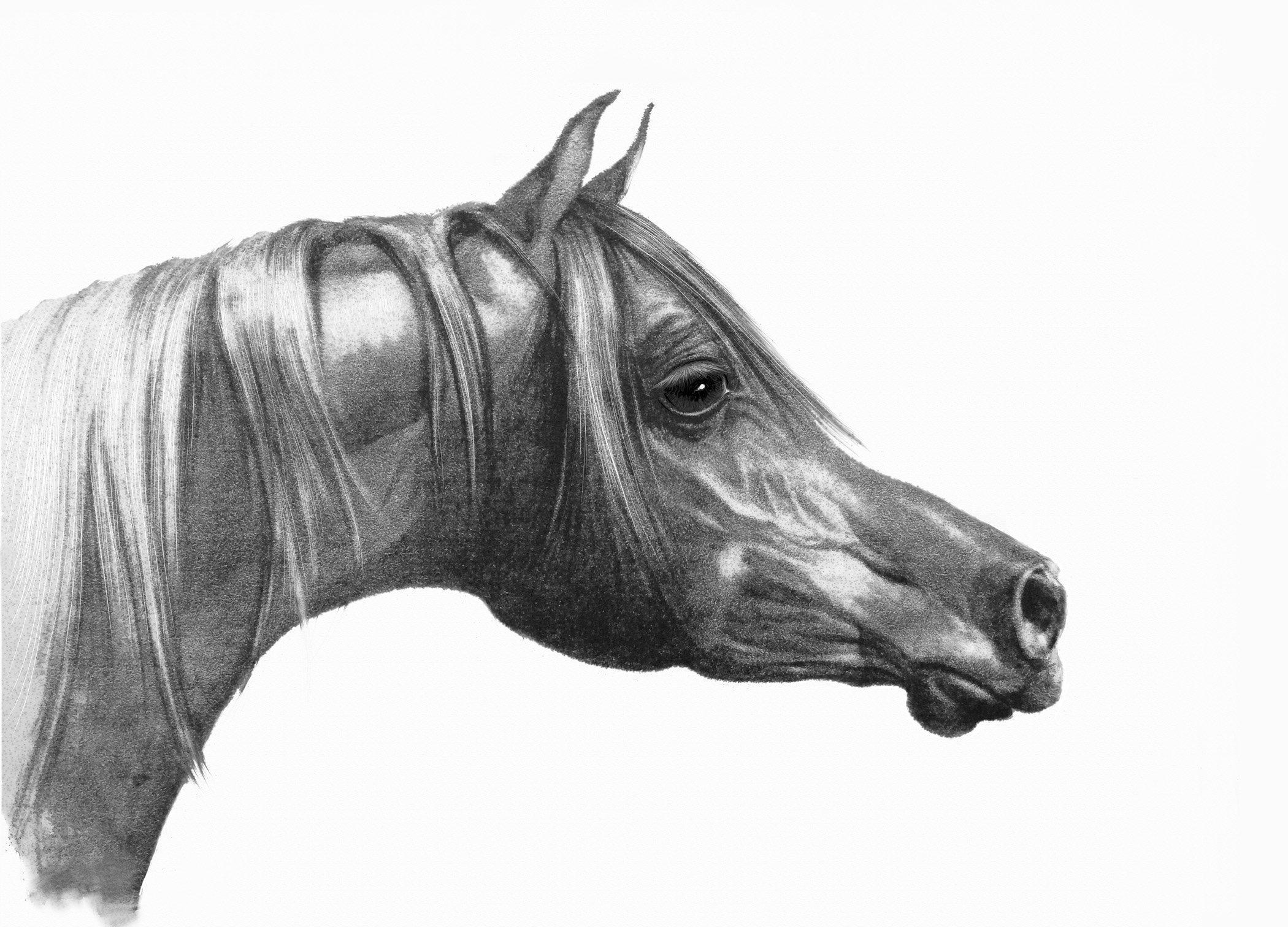 Arabian Horse Drawing, Horse Giclee Print, Horse Fine Art