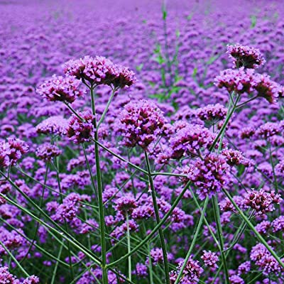 HOTUEEN Verbena Seeds Bonsai Plant Verbena Bonariensis Seeds Perennial Home Garden Decor Flowers : Garden & Outdoor