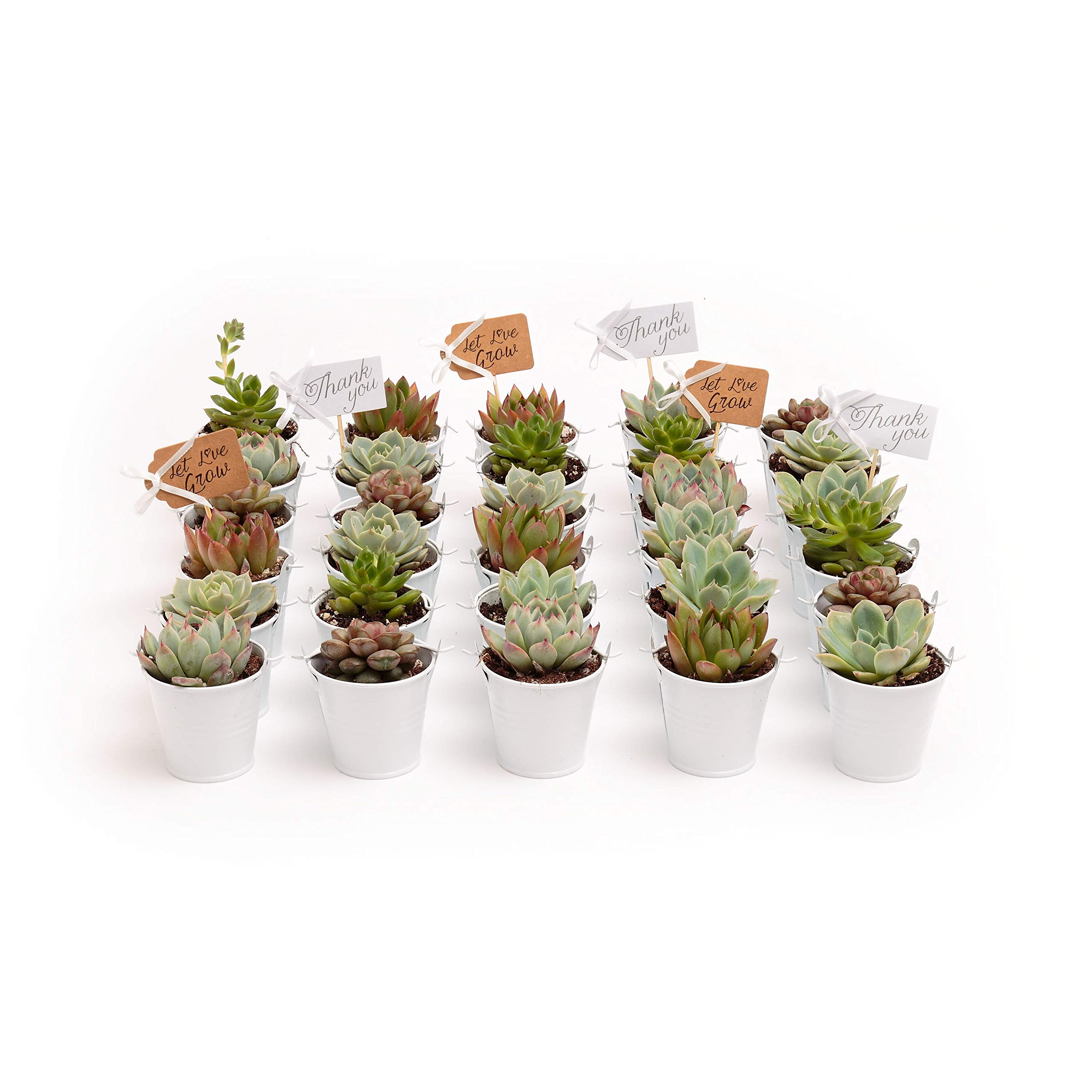 2 in. Wedding Event Rosette Succulents with White Metal Pails and Thank You Tags (60) by Succulent Source (Image #1)