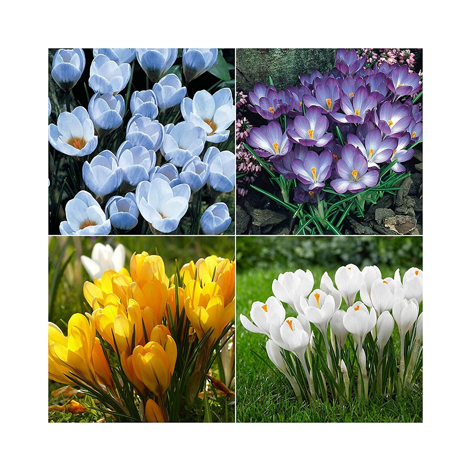 100 Crocus Labelled MIXED Spring Flowering bulbs by Plug Plants Express Limited