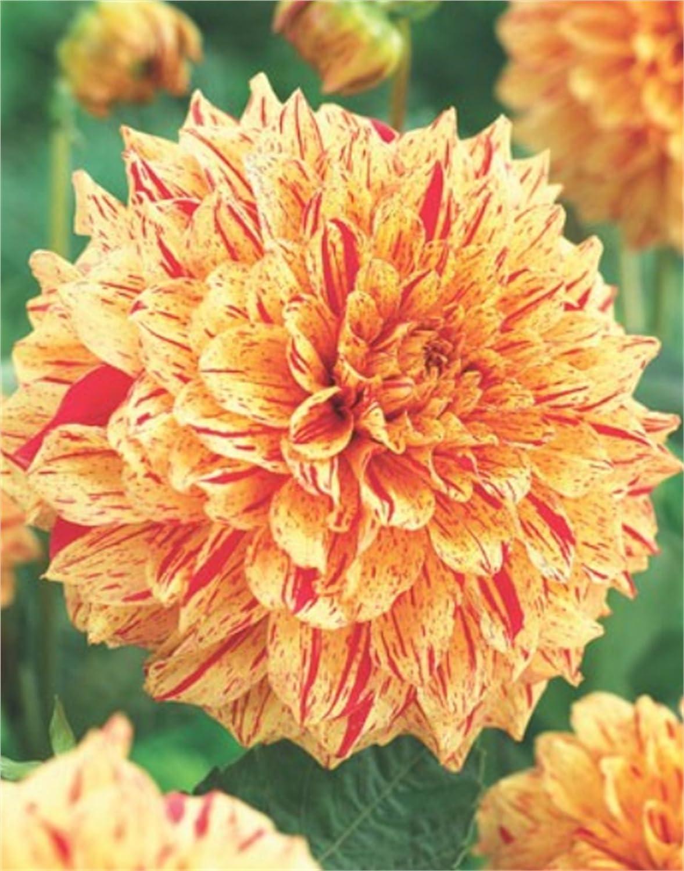 Dekorative Dahlien - Gloriosa