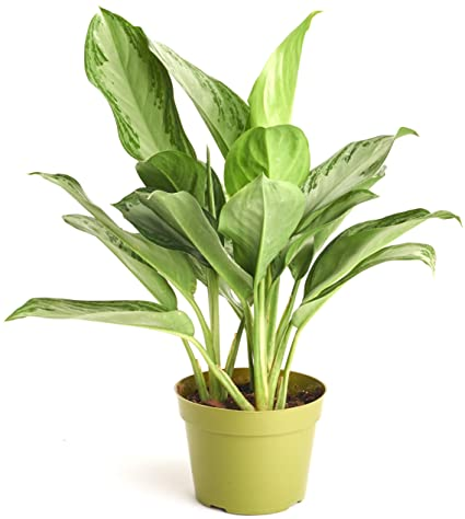 Shop Succulents | Chinese Evergreen 'Silver Bay Aglaonema' House Plant on order birds of paradise plant, zamiifolia house plant, spider house plant, fig house plant, houseplants plant, croton house plant, banana house plant, cast iron plant, rubber house plant, hydrangea house plant, peperomia house plant, fern house plant, zi zi plant, arrowhead house plant, umbrella house plant, avocado house plant, eternity plant, house plant identification succulent plant,