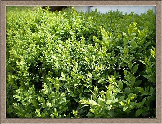 10 plantas de bosque Buxsus para exterior, jardín, exterior, en maceta, 7 x 25 cm, incluye maceta: Amazon.es: Jardín