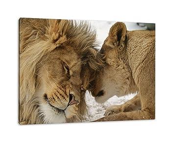 Bezauberndes Kuschelndes Löwenpaar In Afrika In Farbe Kunstdruckf Wandbild Mit Rahmen Kein Poster Oder Plakat 100x70cm Afrika Wilde Tiere